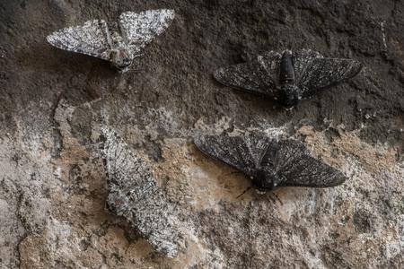 Peppered moth (Biston betularia) melanische en lichte vorm. Nachtvlinders in de familie Geometridae tonen relatieve camouflage van f. cabonaria, het resultaat van industrieel melanisme