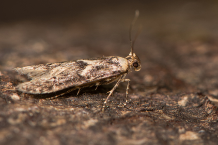 British moth in the family Blastobasidae attracted to light in Bath, Somerset, UK
