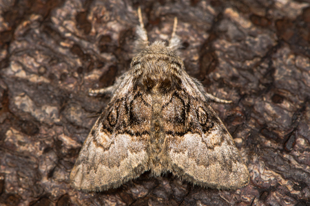British moth in the family Noctuidae attracted to light in Bath, Somerset, UK Stock Photo