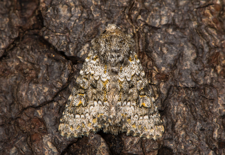 Scarce but increasing British moth in the family Noctuidae attracted to light in Bath, Somerset, UK Stock Photo