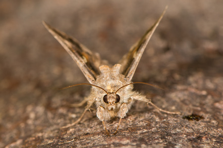 Immigrant British moth in the family Noctuidae attracted to light in Bath, Somerset, UK