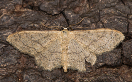British moth in the family Geometridae attracted to light in Bath, Somerset, UK