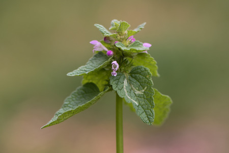 A plant with dark red flowers, also known as purple archangle and purple deadnettle, in the family Lamiaceae