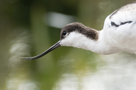 Large black and white wader in the avocet and stilt family, Recurvirostridae