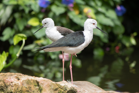 pied: Long-legged wader in the family Recurvirostridae, aka common or pied stilt Stock Photo