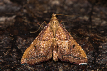 British moth in the family Pyralidae attracted to light in Bath, Somerset, UK Stock Photo