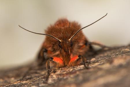ヒトリガー Erebidae、以前、安静時に、赤と茶色の色を持つイギリスの昆虫の頭を見てください。 写真素材