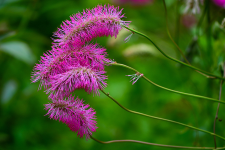 Japanese burnet (Sanguisorba obtusa) in flower. Terminal spikes of small fluffy pink flowers with conspicuous stamens on plant in the family Rosaceae