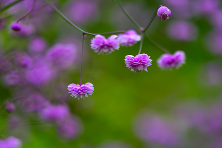 Thalictrum delavayi Hewitts double flowers. Pink flowers of Chinese meadow rue, an ornamental perennial in the family Ranunculaceae