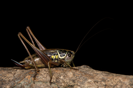 Adult female British cricket in the family Tettigoniidae, order Orthoptera, on branch against black