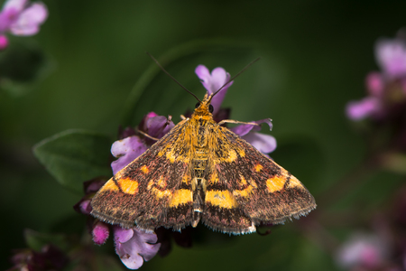 British moth in the family Crambidae, nectaring with hindwing visible
