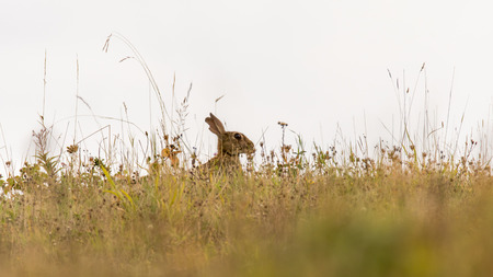 Rabbit (Oryctolagus cuniculus) in British meadow. Conspicuous mammal looking for danger behind grass and wildflowers while grazing in the English countryside