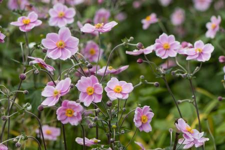 Japanese anemone (Anemone hupehensis) in flower. Pink garden plant in the family Ranunculaceae, aka Chinese anemone, thimbleweed or windflower