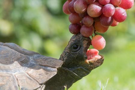 입으로 거북이 열려 포도 먹는. 부리와 혀를 보여주는 애완용 거북은 열매를 맺기 위해 늘어납니다.