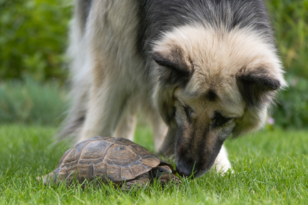 German shepherd dog investigating tortoise. Black and cream long-haired Alsatian sniffing pet tortoise on lawn