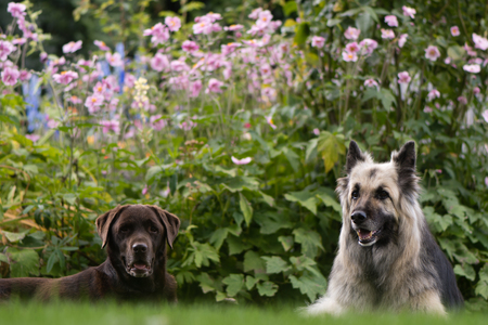 Chocolate labrador and German shepherd dogs. Black and cream long-haired Alsatian and lab in front of English cottage garden flowers Stock Photo