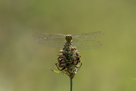 Common darter (Sympetrum striolatum) front view. Female dragonfly in the family Libellulidae, showing compound eyes Stock Photo