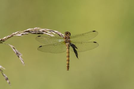 Common darter (Sympetrum striolatum) on grass, dorsal view. Female dragonfly in the family Libellulidae Stock Photo