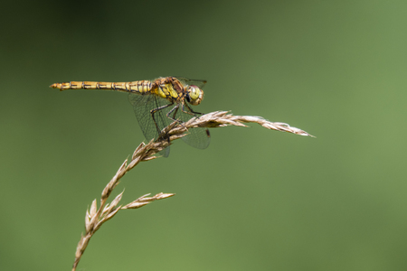 Common darter (Sympetrum striolatum) profile on grass. Female dragonfly in the family Libellulidae, showing black legs with yellow stripes
