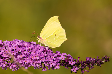 Brimstone (Gonepteryx rhamni) butterfly on Buddleia. A male butterfly in the family Papilionidae nectaring on butterfly bush