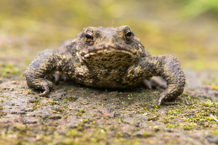 Common toad (Bufo bufo) head on. Amphibian in the family Bufonidae looking directly at camera