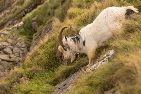 Feral mountain goat descending steep rock face. Agile long-haired goat at Brean Down in Somerset, part of a wild herd