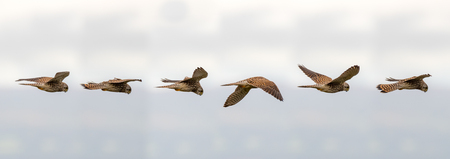 Kestrel (Falco tinnunculus) hovering in flight. Composite of postions of bird scanning for prey whilst maintaining static relative to the ground Stock Photo