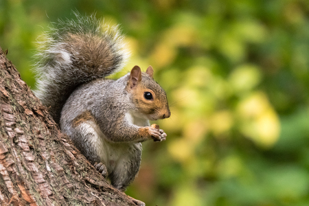 europeans: Rodent in the family Sciuridae eating biscuit sitting on conifer Stock Photo