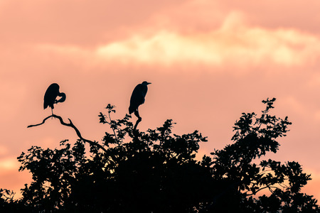 wingspan: Large birds in the family Ardeidae at dusk on top of oak tree Stock Photo