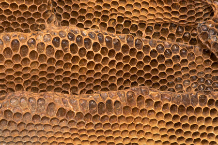 Detail of honey comb with honey bee (Apis mellifera) nest. Hexagonal structure within bee hive of European bee in the family Apidae