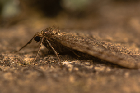 Winter moth (Operophtera brumata). A moth in the family Geometridae that flies in the late autumn and winter