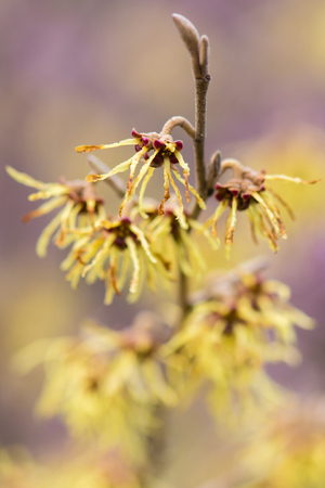 Witch hazel (Hamamelis × intermedia Arnold Promise)  in flower. Extraordinary yellow flowers of shrub cultivar in the family Hamamelidaceae, with long petals