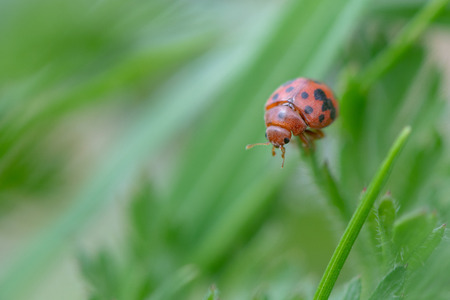 Twenty-four spot ladybird (Subcoccinella vigintiquattuorpunctata) on grass. Small British beetle in the family Coccinellidae moving amongst low vegetation Reklamní fotografie
