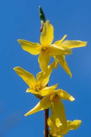 Forsythia flowers against blue sky. Plant in the olive family (Oleaceae), aka Easter tree, with bright yellow spring flowers