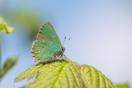 Green Hairstreak (Callophrys rubi) male at rest on bramble. Butterfly in the family Lycaenidae, at rest on bramble with wings closed showing green underside