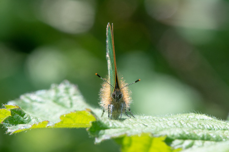 Butterfly in the family Lycaenidae, at rest on bramble with wings closed showing green underside Reklamní fotografie