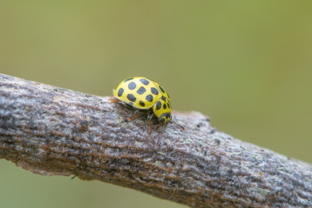 22 spot ladybird (Psyllobora vigintiduopunctata). Small beetle in the family Coccinellidae, feeding on mildew