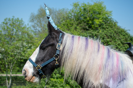 Horse dressed up as unicorn. Irish cob pony with horn and coloured mane, head in profile