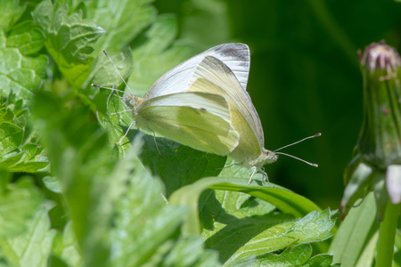 Small white butterflies (Pieris rapae) mating. Insects in the family Pieridae in cop amongst low vegetation (spring brood)