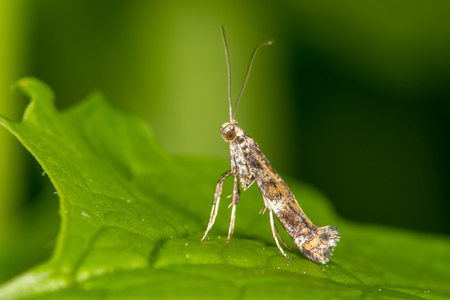 Small insect in the family Gracillariidae, which can be a pest on lilac and privet