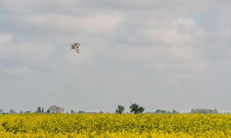 Barn owl (Tyto alba) flying over Lincolnshire fens. Bird of prey over oilseed rape crop in East Anglia, England, UK