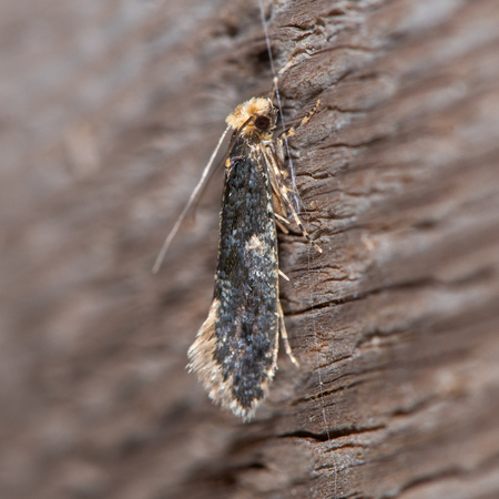 Skin moth (Monopis laevigella) adult. Small insect in the family Tineidae, one of many around owl pellets under barn owl nest