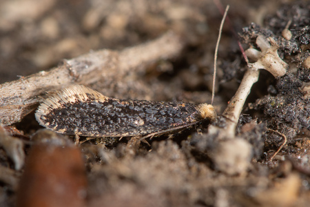 Skin moth (Monopis laevigella) adult on owl pellet. Small insect in the family Tineidae, one of many around owl pellets under barn owl nest