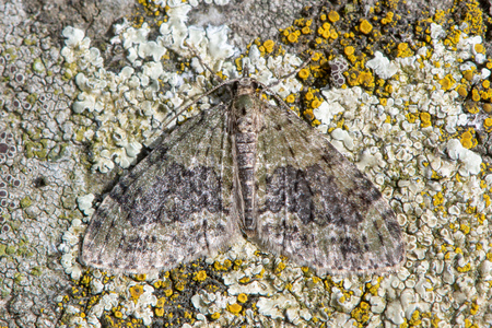 Yellow-barred brindle (Acasis viretata) moth. Worn insect in the family Geometridae, camouflaged against lichen on stone Reklamní fotografie
