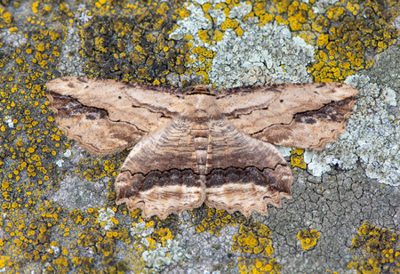 Waved umber (Menophra abruptaria) moth. British insect in the family Geometridae, the geometer moths, camouflaged against lichen Reklamní fotografie