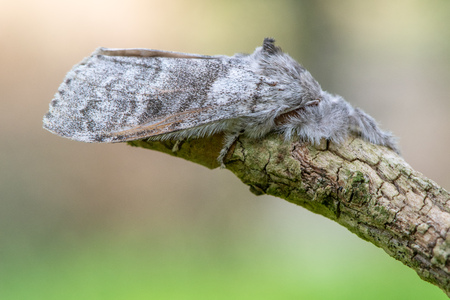 Pale tussock moth (Calliteara pudibunda) at rest. Female insect in the family Erebidae with forward-facing furry legs Reklamní fotografie