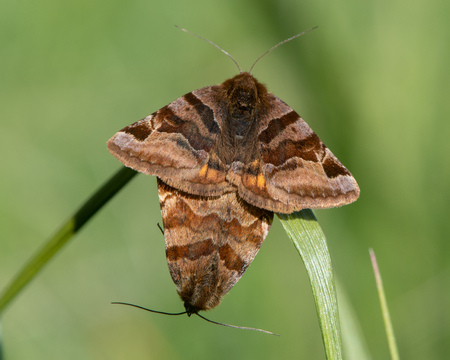 Burnet companion (Euclidia glyphica) moths in cop. Pair of moths in the family Noctuidae mating, showing yellow hindwings