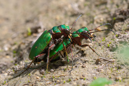 Green tiger beetles (Cicindela campestris) mating. Insects in the family Carabidae in cop, showing metallic colouring and impressive mandibles Reklamní fotografie