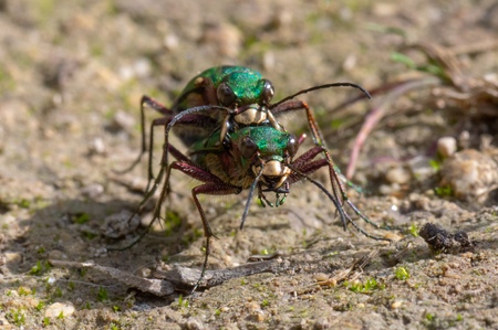 Green tiger beetles (Cicindela campestris) mating, head on. Insects in the family Carabidae in cop, showing metallic colouring and impressive mandibles