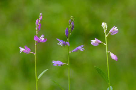Common milkwort (Polygala vulgaris) colour forms. Variations of flowers of plant in the family Polygalaceae, a typical species of calcareous grassland meadows
